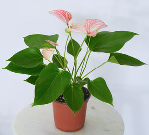 anthurium pink and white