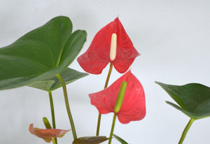 Anthurium Red (6 Inch)