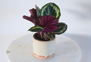 calathea medallion cream pot