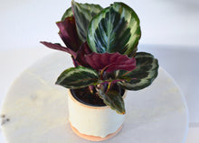 Load image into Gallery viewer, calathea medallion