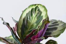 Load image into Gallery viewer, calathea medallion foliage