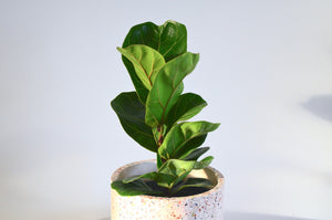 Ficus 'Little Sunshine' (Mini Fiddle Leaf Fig)