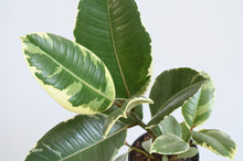 Load image into Gallery viewer, Ficus Tineke Variegated Leaves