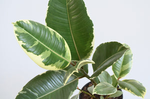 Ficus Tineke Variegated Leaves