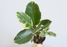 Load image into Gallery viewer, Ficus Tineke Indoor Plant