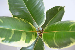 Variegated Rubber Plant 6 inch