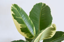 Load image into Gallery viewer, Ficus Tineke Leaf