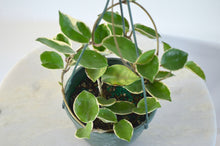 "Load image into Gallery viewer, Hoya Carnosa 'Krimson Queen' - 6"" Hanging Basket"