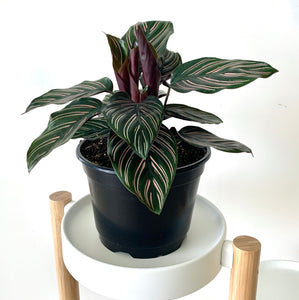 Calathea Ornata leaves