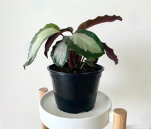 Load image into Gallery viewer, Calathea Royal Standard Houseplant