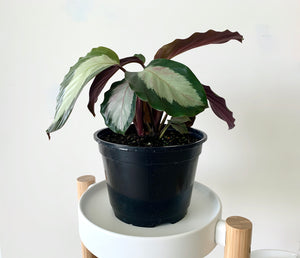 Calathea Royal Standard Houseplant