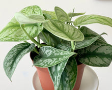 Load image into Gallery viewer, Silver Satin Pothos - Outside In
