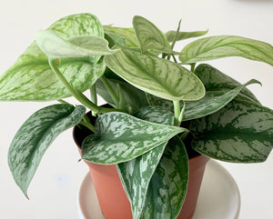 Silver Satin Pothos - Outside In