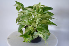 "Load image into Gallery viewer, Marble Queen Pothos - Full (6"")"
