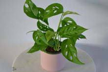 Load image into Gallery viewer, monstera adansonii in pink pot