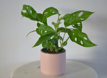Load image into Gallery viewer, swiss cheese plant in pink pot