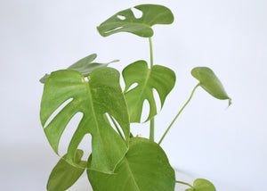 split leaves monstera