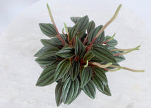 Load image into Gallery viewer, Peperomia Rosso 4 Inch Plant