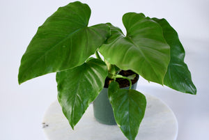 giant philodendron plant