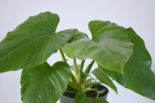 Load image into Gallery viewer, philodendron giganteum 6 inch