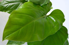 Load image into Gallery viewer, philodendron giganteum leaf