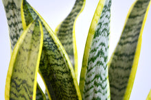 Load image into Gallery viewer, Variegated Snake Plant (Sansevieria Laurentii)