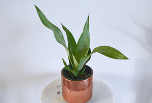 moonglow snake plant in gold pot