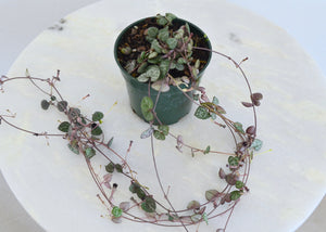 buy string of hearts 4 inch plant