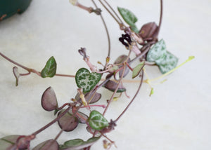 closeup string of hearts plant