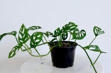 Load image into Gallery viewer, Monstera Adansonii Houseplant