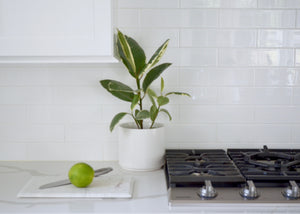 variegated rubber plant in kitchen