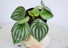Load image into Gallery viewer, watermelon peperomia 4 inch plant