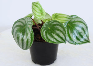 Watermelon Peperomia Houseplant