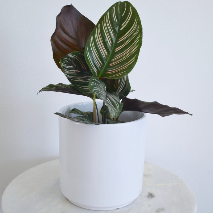 White Pot with Pinstripe Plant