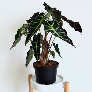 Alocasia Polly - Outside In