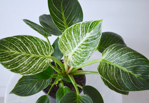 Philodendron Birkin Rare Indoor Plant