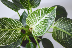 Philodendron Birkin Variegated Leaves