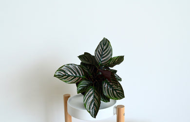 Calathea Ornata Pinstripe Plant - Outside In