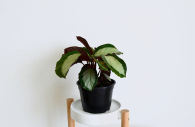 Calathea Royal Standard - Outside In