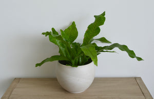 Clay Pot Crocodile Fern