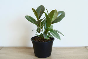Ficus Tineke - Outside In