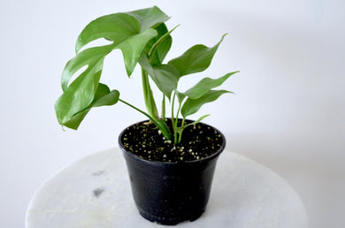 Monstera Ginny Indoor Plant