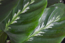 Load image into Gallery viewer, Maui Queen Leaf Closeup