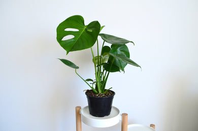 Monstera Deliciosa - Outside In