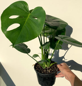 Monstera Deliciosa Houseplant