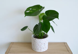 Monstera Houseplant - Outside In