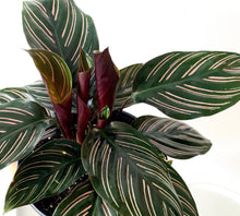 Load image into Gallery viewer, Calathea Ornata — Pinstripe Plant - Outside In