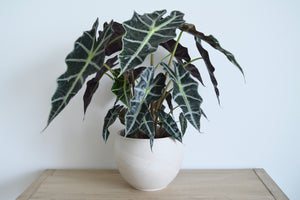Clay Pot Alocasia Polly