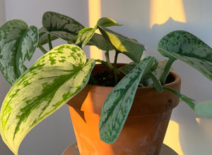 satin pothos shimmer leaves