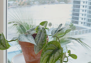 satin pothos houseplant